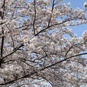 桜の時期にはお琴が似合います!